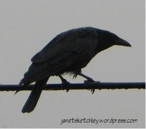 Crow in the rain