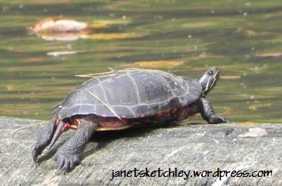 Freshwater turtle on a log